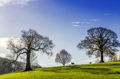 树和吃草绵羊在一个英国春日 免版税库存图片