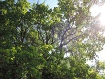 树和明媚的阳光 免版税库存照片