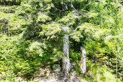 树和树桩 图库摄影