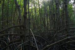 树和植物在泰国的美洲红树森林里 库存照片