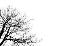 树和死亡木白色背景分支结构  免版税库存照片