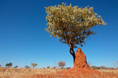 树和白蚁土墩 库存图片