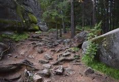 树和石头根的看法在森林里 免版税图库摄影