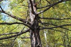 树和秋天 免版税图库摄影