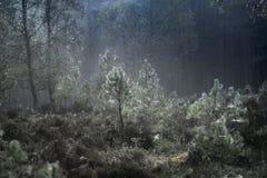 树和网在Abernethy森林在苏格兰 免版税图库摄影