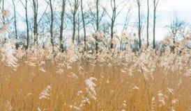 树和芦苇在一个领域在冬天 免版税库存图片