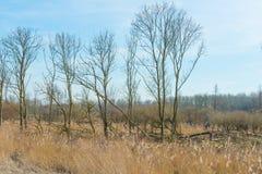 树和芦苇在一个领域在冬天 库存图片
