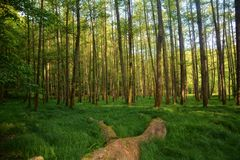 树和高草在森林里在清早 库存图片