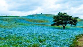 树和Nemophila在日立海滨公园在春天有蓝色s的 库存照片