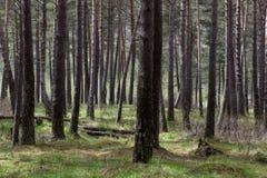 树在一个密集的杉木森林里 免版税库存图片