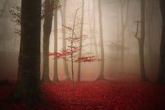 树在一个有雾的秋天森林里 库存照片