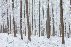 树在一个森林里在用雪包括的冬天期间 库存图片