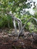 树在伯利兹 库存图片