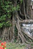 树在佛教寺庙的公园增长在河内(越南) 免版税图库摄影