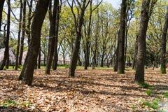 树在公园有地面befor秋天的许多干燥叶子 免版税库存图片