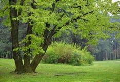 椴树在公园 库存照片