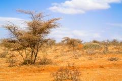 树在埃塞俄比亚 免版税库存图片