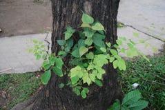 树在孟加拉国 jatio新闻俱乐部领域 免版税库存照片