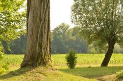 树在庭院里在夏天 免版税库存图片