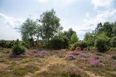 树在新的森林,汉普郡,英国里在与开花的石南花的一夏天` s天在前景 库存图片