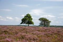 树在新的森林,汉普郡,英国里在与开花的石南花的一夏天` s天在前景 免版税库存照片
