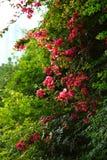 树在春天在中国重庆市 免版税库存图片