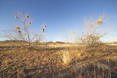 树在有善社交的织布工的巢的纳米比亚 库存照片
