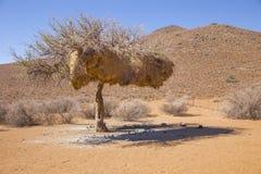 树在有善社交的织布工的巢的纳米比亚 免版税库存图片