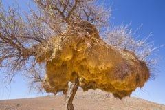 树在有善社交的织布工的巢的纳米比亚 免版税图库摄影