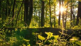 树在有太阳的森林里在晚上心情 免版税库存图片