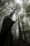 树在有雾的一个黑暗的森林里 免版税库存图片