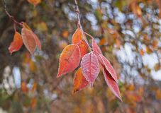 树在树冰的樱桃叶子 免版税图库摄影