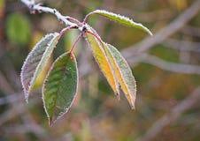 树在树冰的樱桃叶子 免版税库存照片
