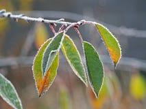 树在树冰的樱桃叶子 图库摄影
