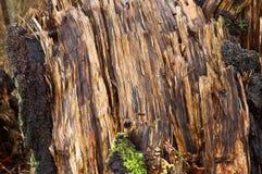 树在森林里下落的一老打破的湿 库存图片