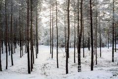 树在森林里在冬天 免版税库存图片