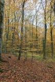 树在森林里在秋天 库存图片