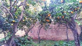 树在橙色果树园 图库摄影