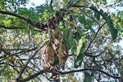 树在比勒陀利亚,南非 库存图片