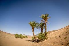 树在沙漠,摩洛哥 免版税库存照片