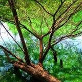 树在湖 免版税库存照片