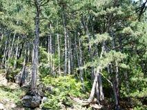 树在狂放的森林克里米亚里 免版税库存照片