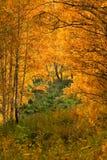 树在秋天森林里 图库摄影