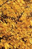 椴树在秋天森林里 免版税库存图片