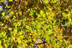 椴树在秋天 免版税库存图片