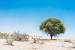 树在纳米贝省沙漠 安格斯 库存照片