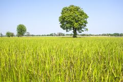树在草甸 库存图片