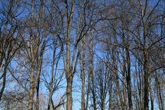 树在蓝天的春天森林里 免版税图库摄影