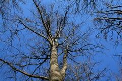 树在蓝天的春天森林里 免版税库存图片