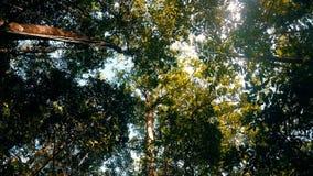 树在雨forrest北部苏拉威西岛,印度尼西亚中冠上 股票视频